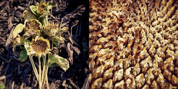Dried out sunflowers