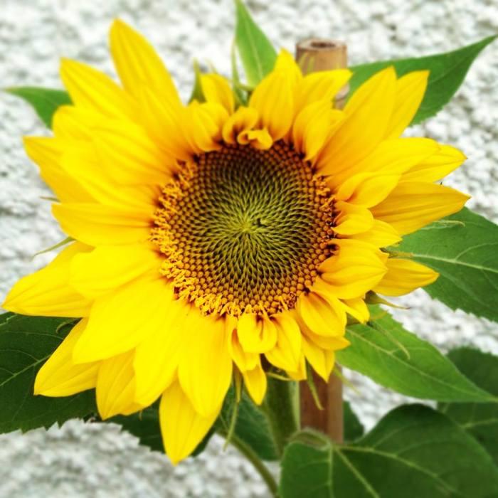 First sunflower of 2013