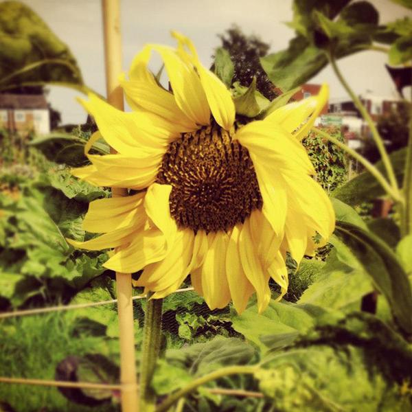 Giant Russian Sunflower 2012
