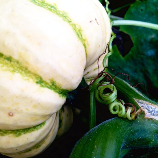 Pumpkin Twirls