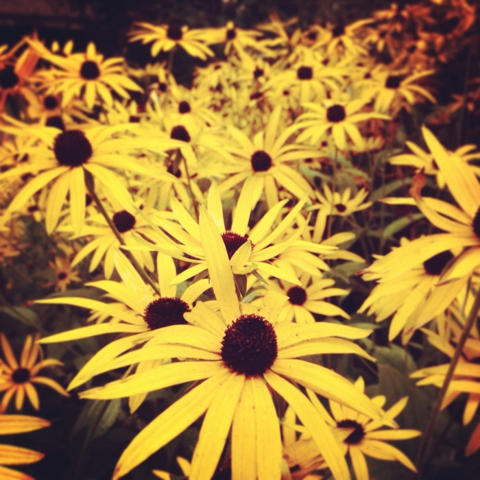rudbeckia in the York Museum Gardens