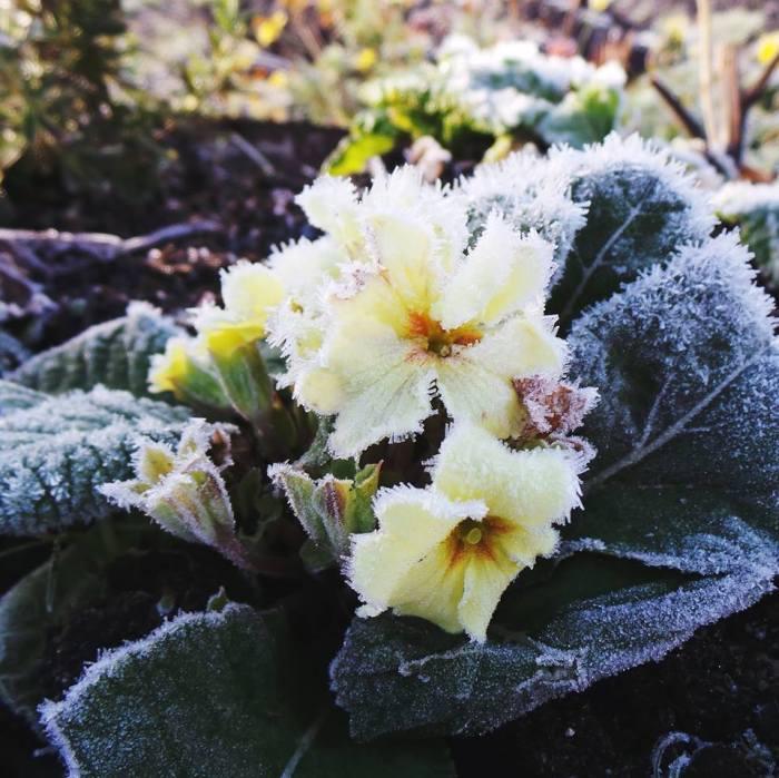Frost Primrose