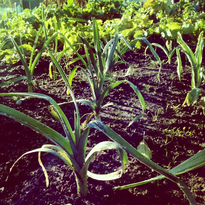 Leeks Warmin In The sun
