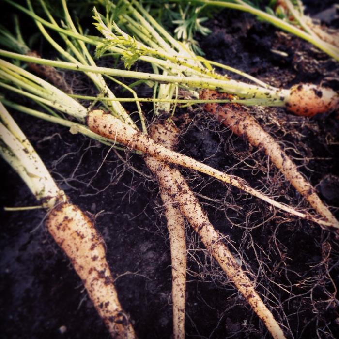 Tasty Tiny Carrots