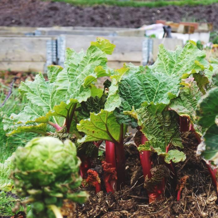 Rhubarb Crumble in the making
