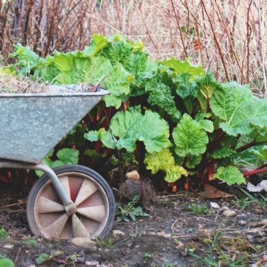 Wheelbarrow and flourishing rhubarb