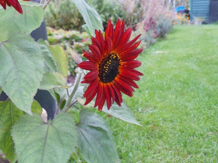 Happy Sun Flower