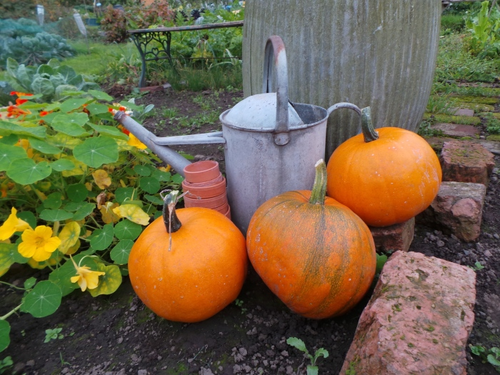 Triple Pumpkin harvest
