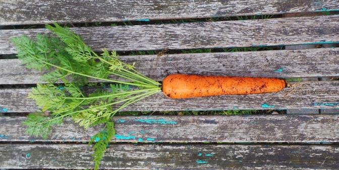 9.5in carrot