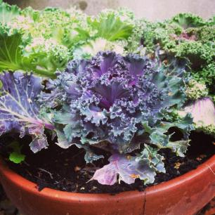 Picture Of The Week ~ Ornamental Cabbage