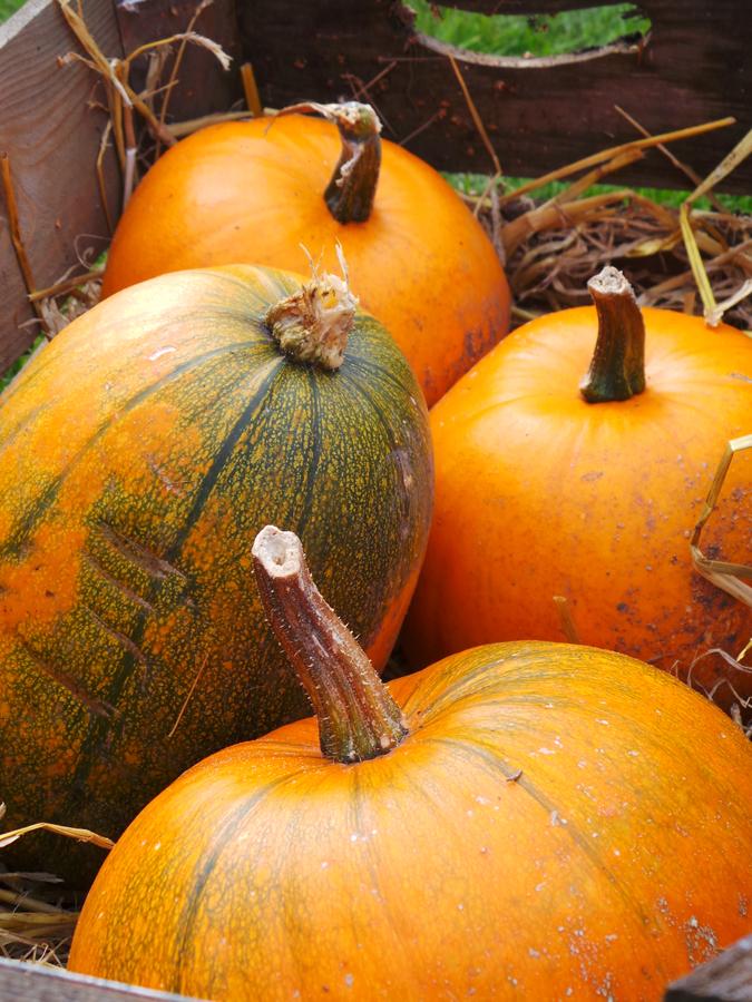 Plump pumpkins