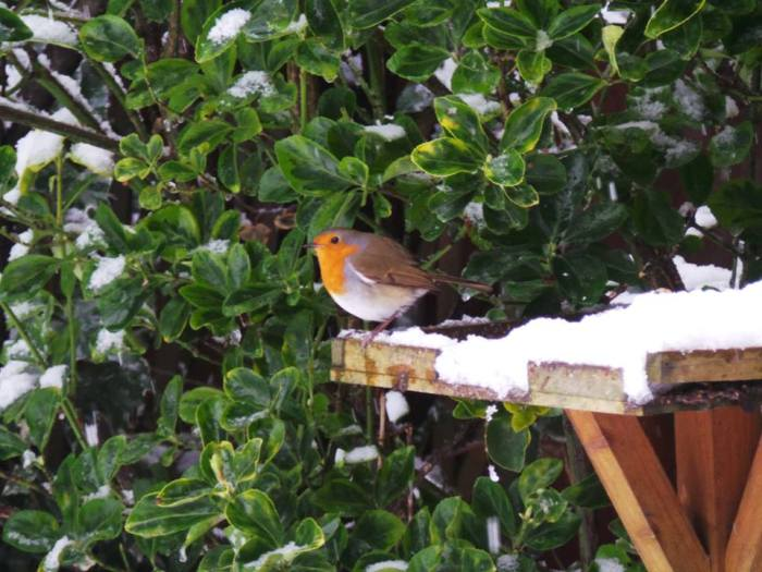 Robin on the table