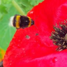 http://lottielandgirl.com/2014/08/07/wildflowers-bees-and-poppies/