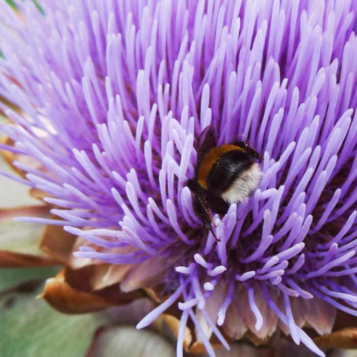 Globe Artichockes and bees