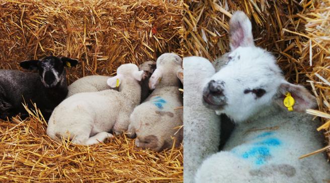 The Edible Garden Show Lambs