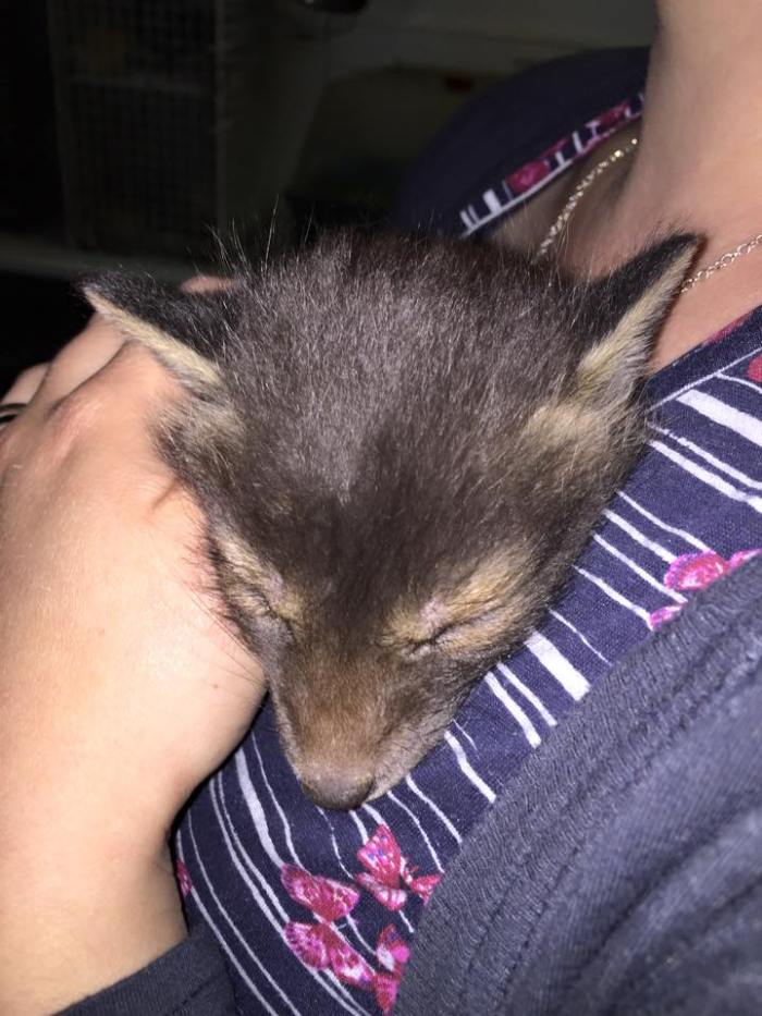 Baby bird Rescue Fox Cub