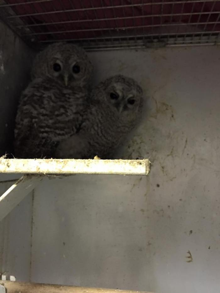 Baby bird Rescue Tawny Owls