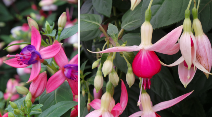 Holker Garden Festival |Displays in the floral marque fuschia