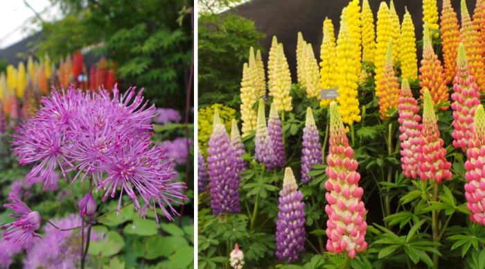 Holker Garden Festival |Displays in the floral marque lupins